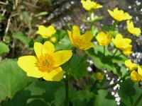 marsh-marigold-sm