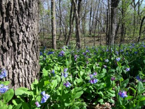 trout-park-blue-bells-sm