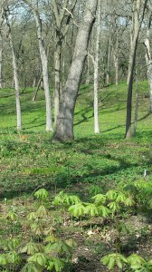Woodland scene on our May 24 garden tour