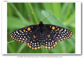 Northern Illinois Butterfly